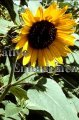 Sunflower - Helianthus annuus 1 gallon