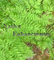 Royal Fern – Osmunda regalis 1 gallon