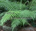 Wood Fern, S. Shield Fern - Thelypteris kunthii 1 gallon