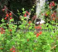 Pineapple Sage - Salvia elegans 1 gallon