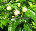 Buttonbush - Cephalanthus occidentalis 5 gallon