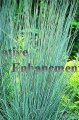 Little Bluestem – Schizachyrium scoparium 1 gallon
