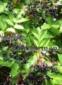 Elderberry - Sambucus canadensis 5 gallon