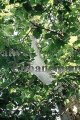 American Sycamore - Platanus occidentalis 5 gallon
